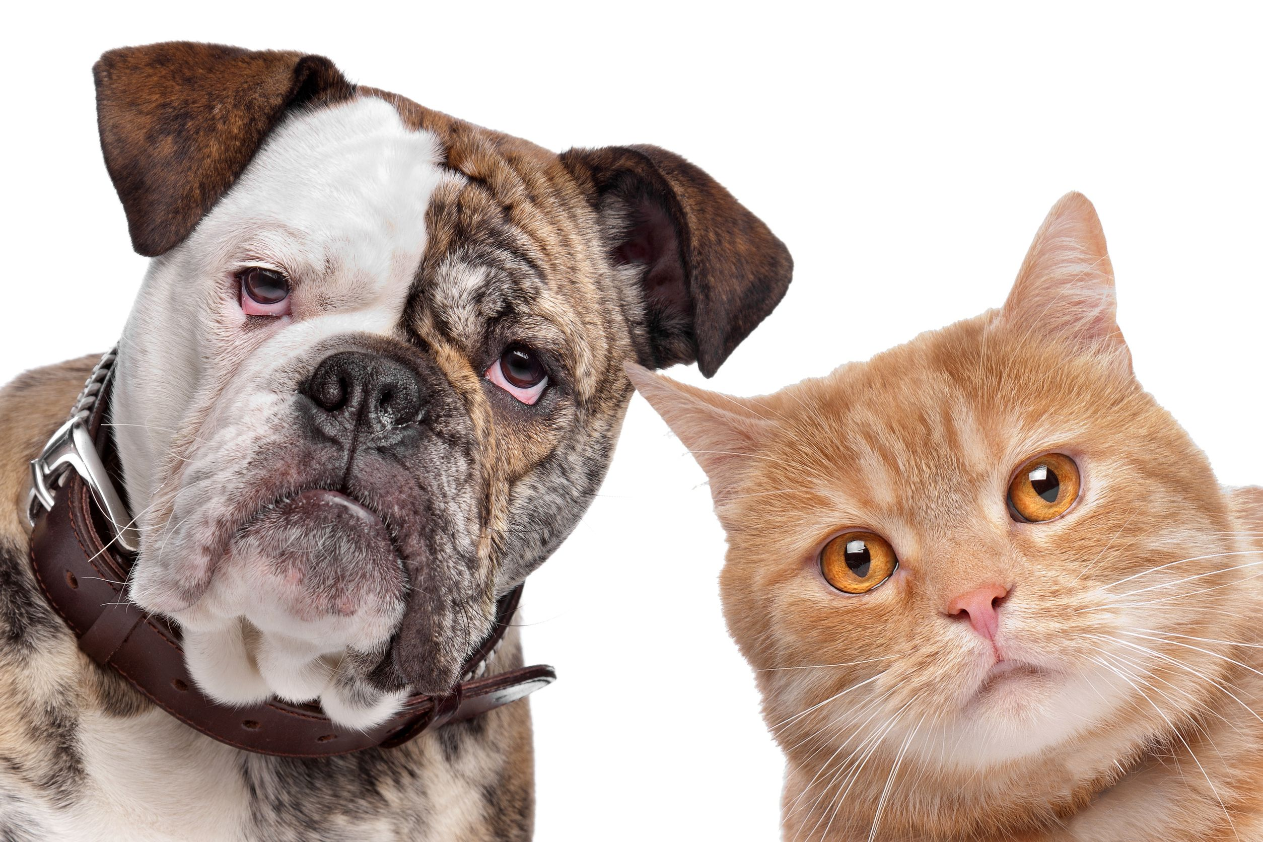 12375045 - english bulldog and a red cat in front of a white background